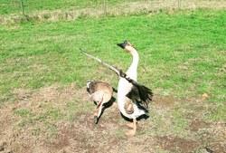 Grippe aviaire: information aux détenteurs particuliers de volailles et d'oiseaux
